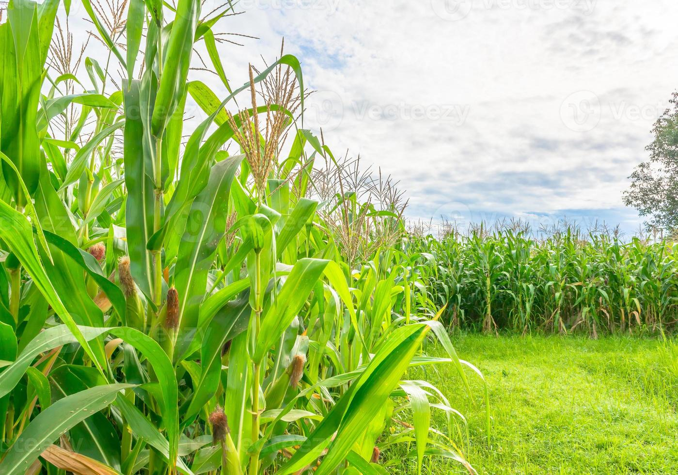image of corn field and sky in background photo