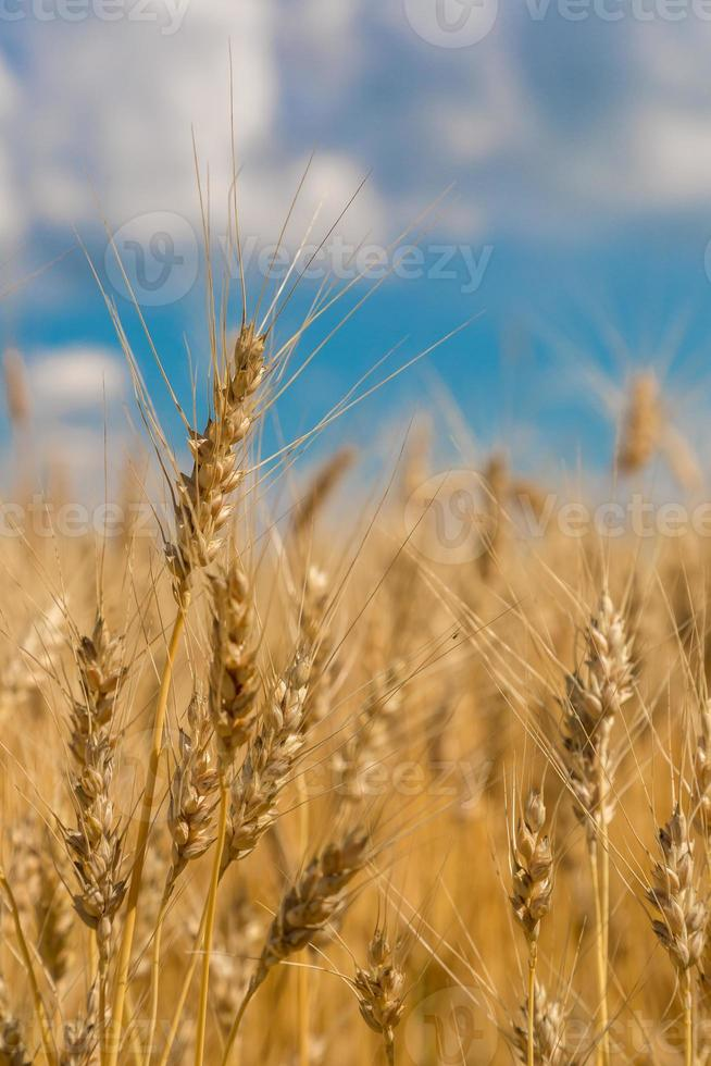 campo de trigo, cosecha fresca de trigo foto