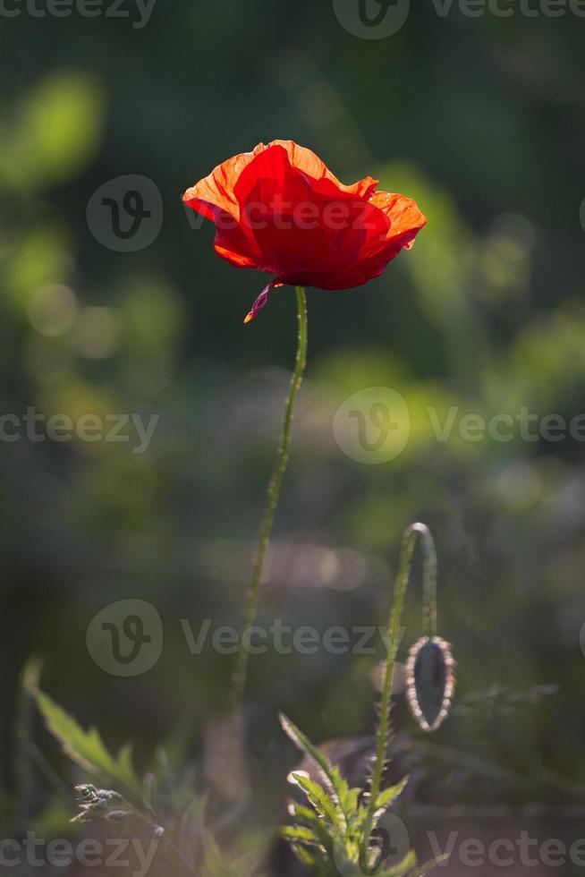 Poppies on the field background photo