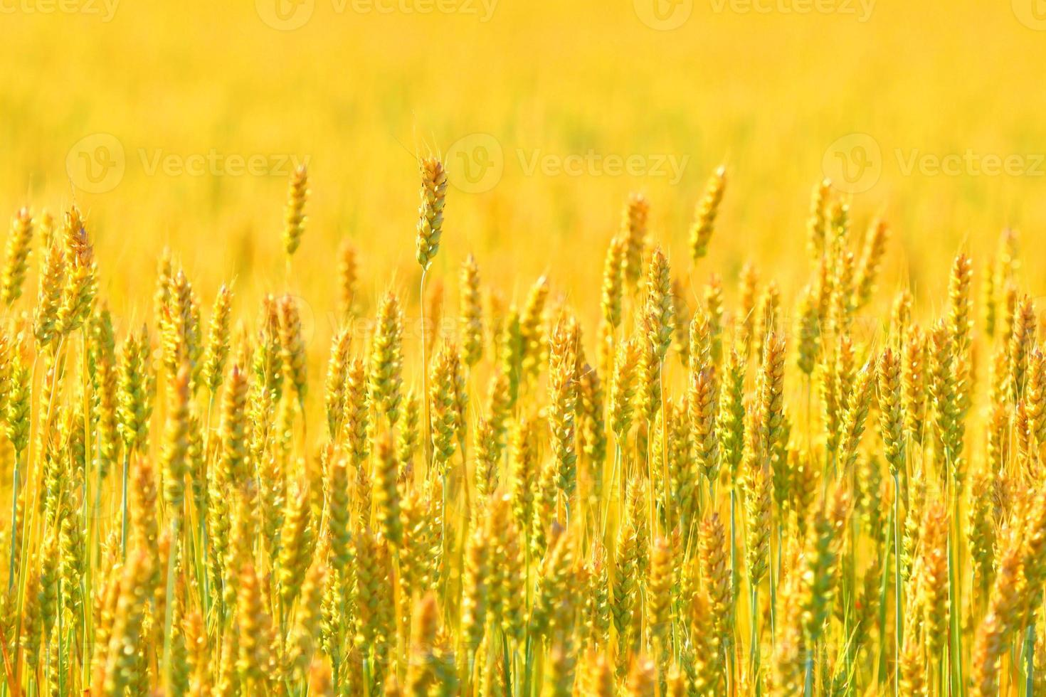 Farmer field of wheat background photo