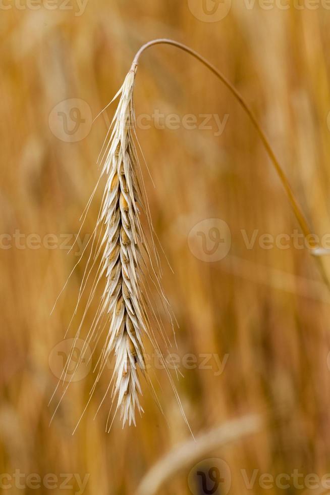 cereales maduros foto