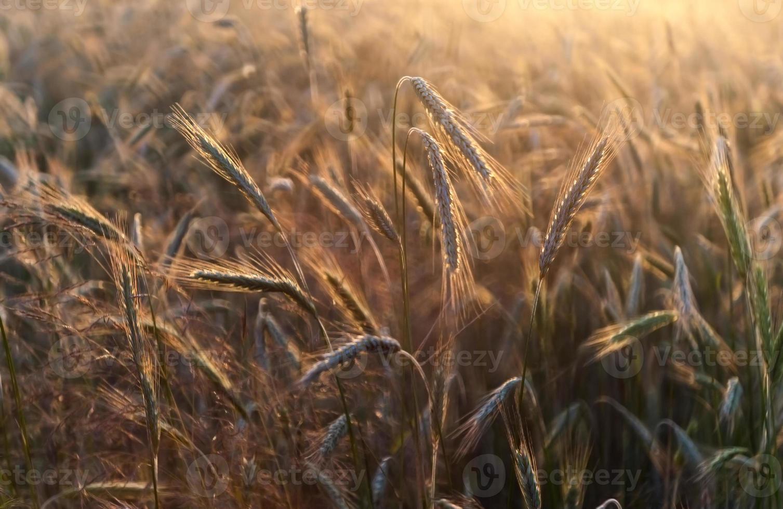 Rye ears in golden sunset light photo