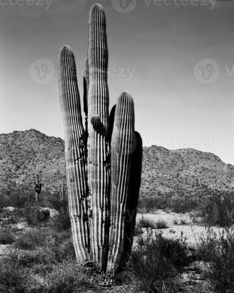 saguaro del desierto foto