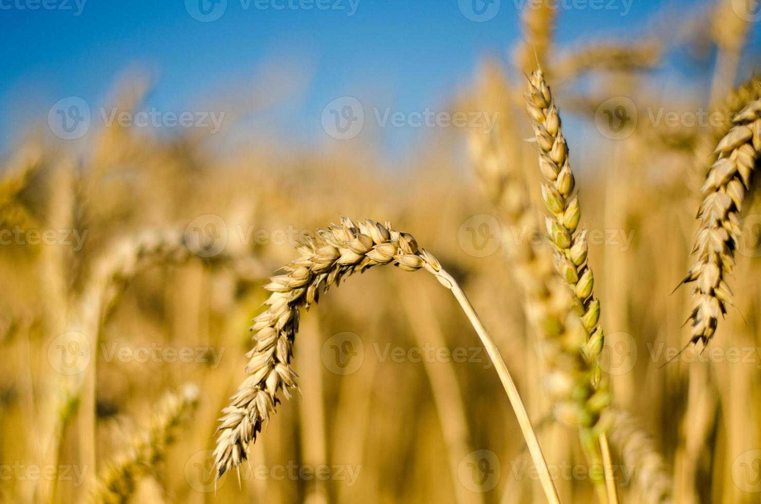 maizal - cultivo de maíz foto