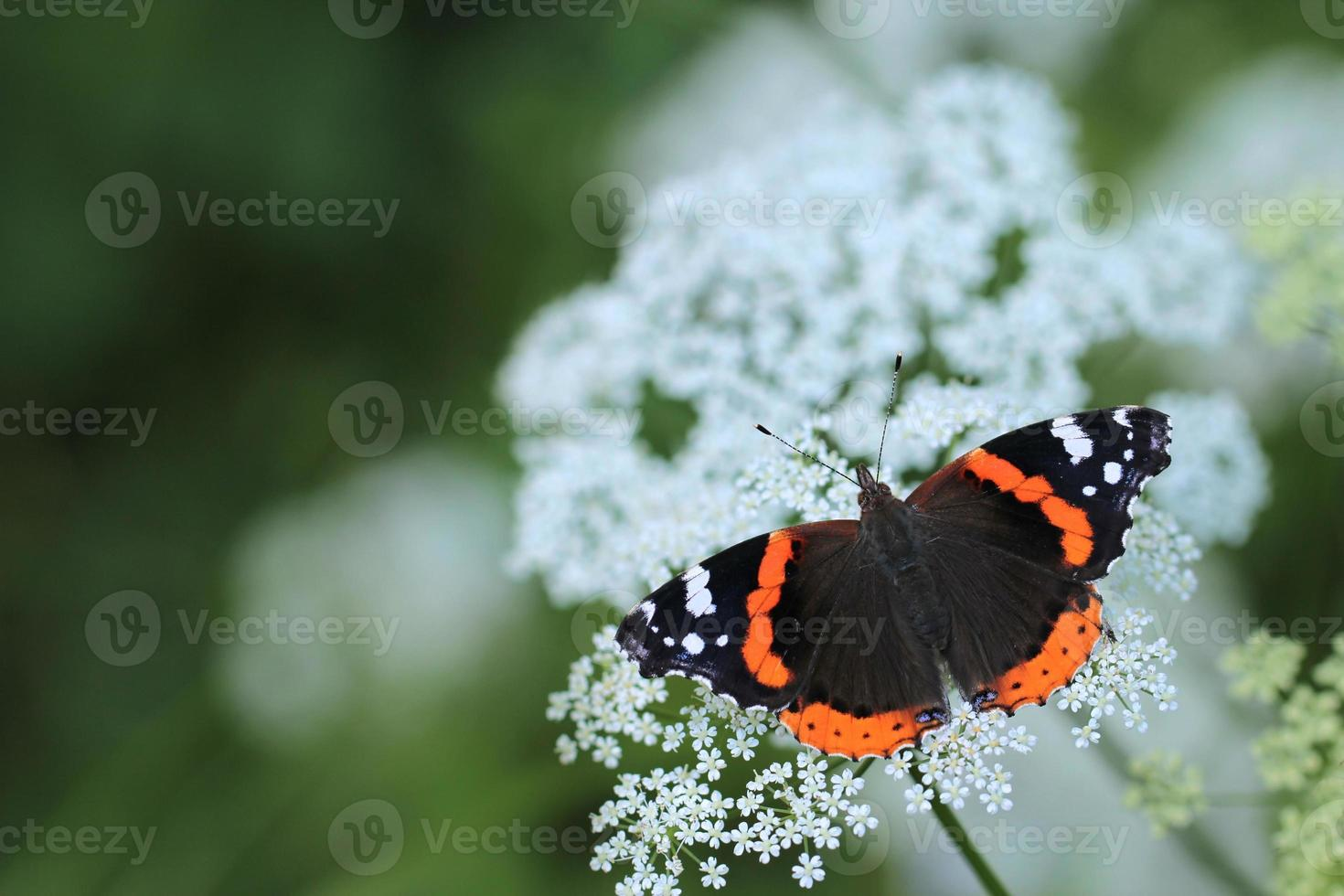Red Admiral butterfly (Vanessa atalanta) photo