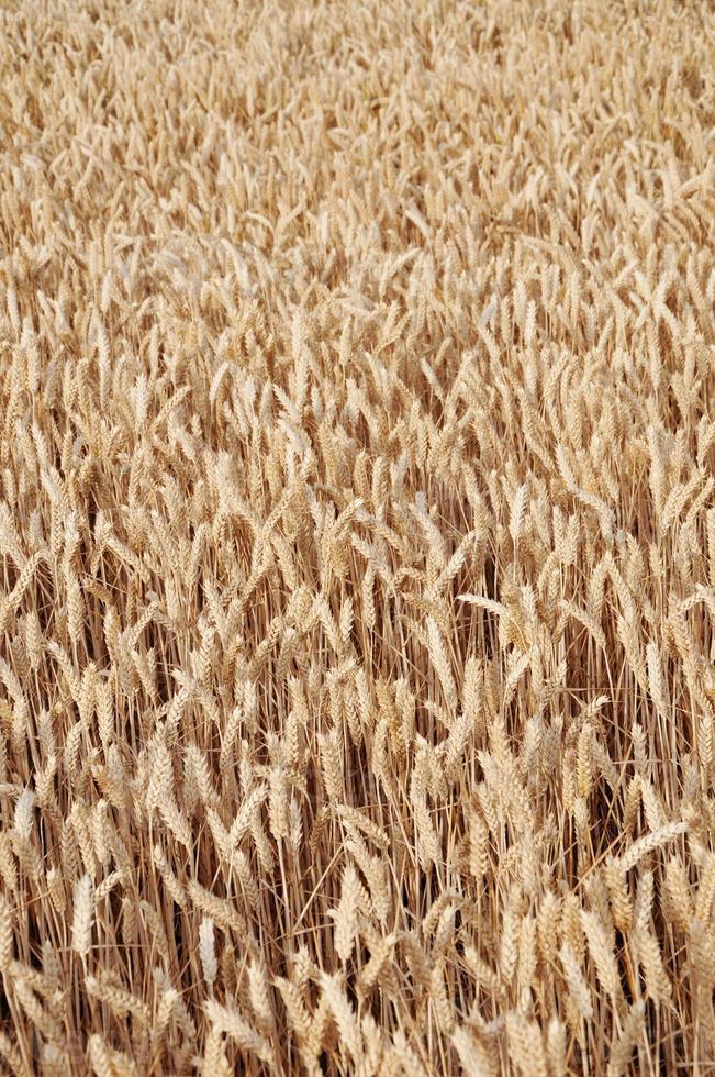 trigo de verano foto