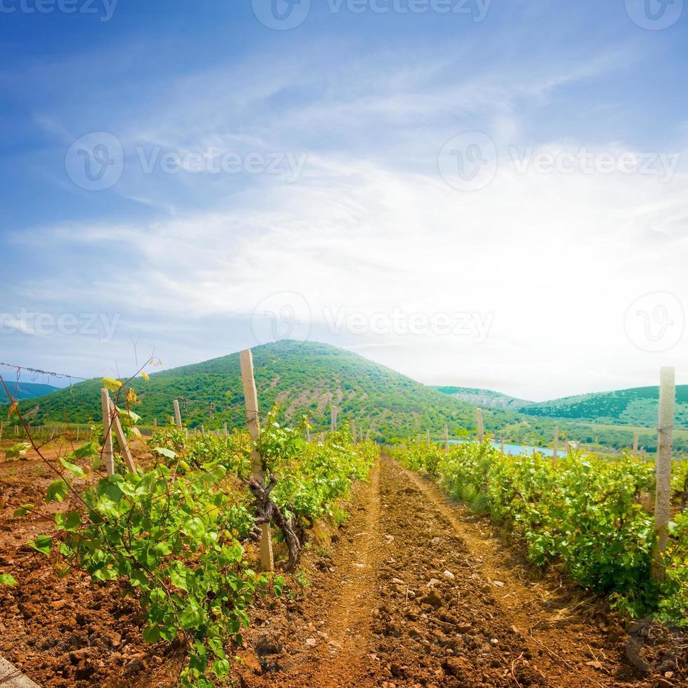 summer vine valley photo