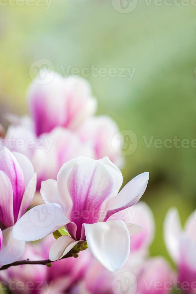 flor rosada magnolia foto