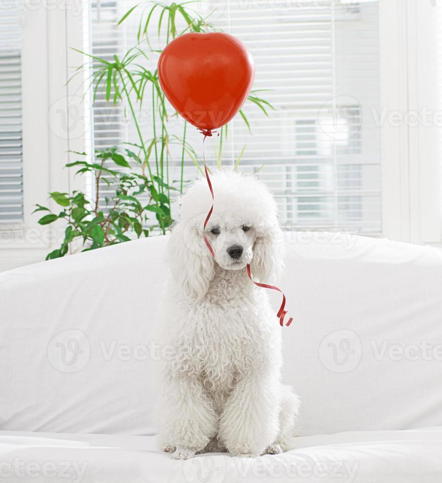 White dog with a  balloon photo