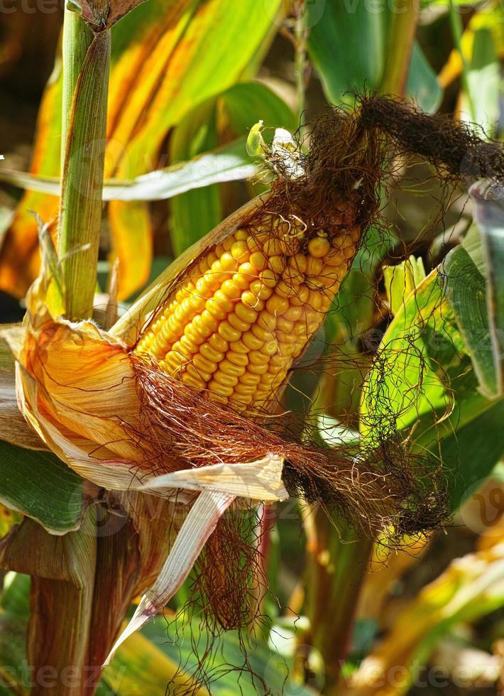 la mazorca de maíz madura en el tallo foto
