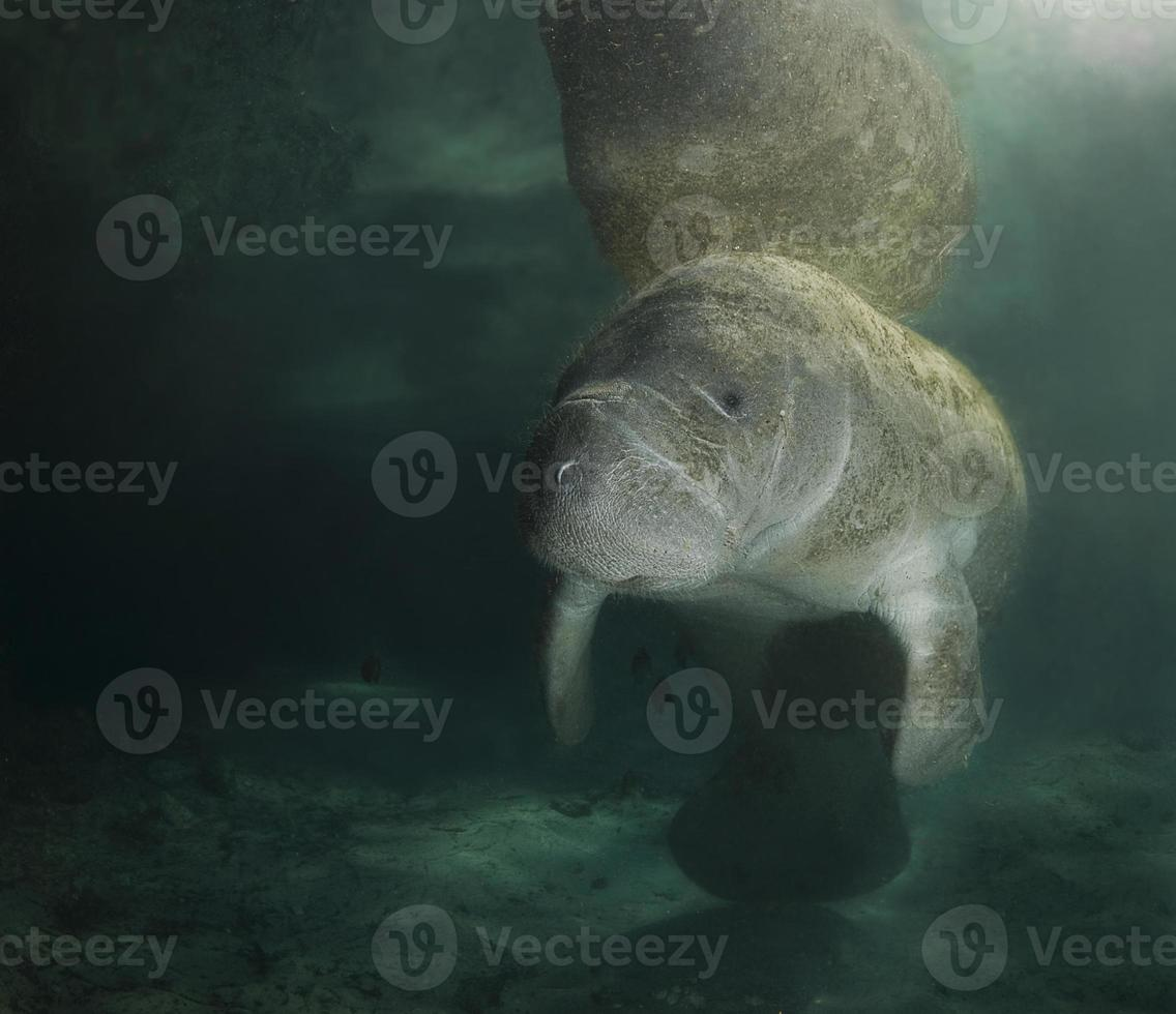 Retrato de reflexión de manatí foto