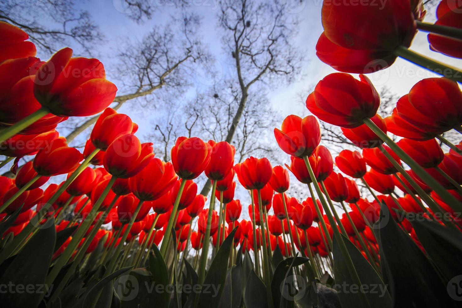 tulipanes foto
