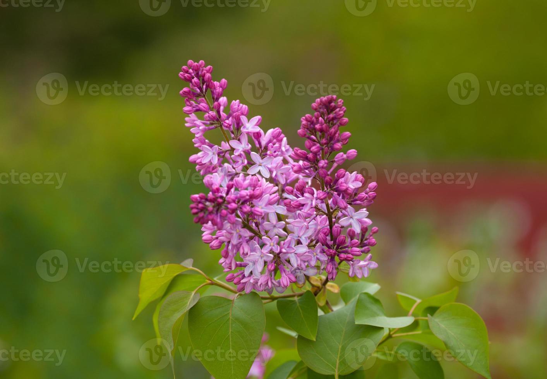 primavera lila foto