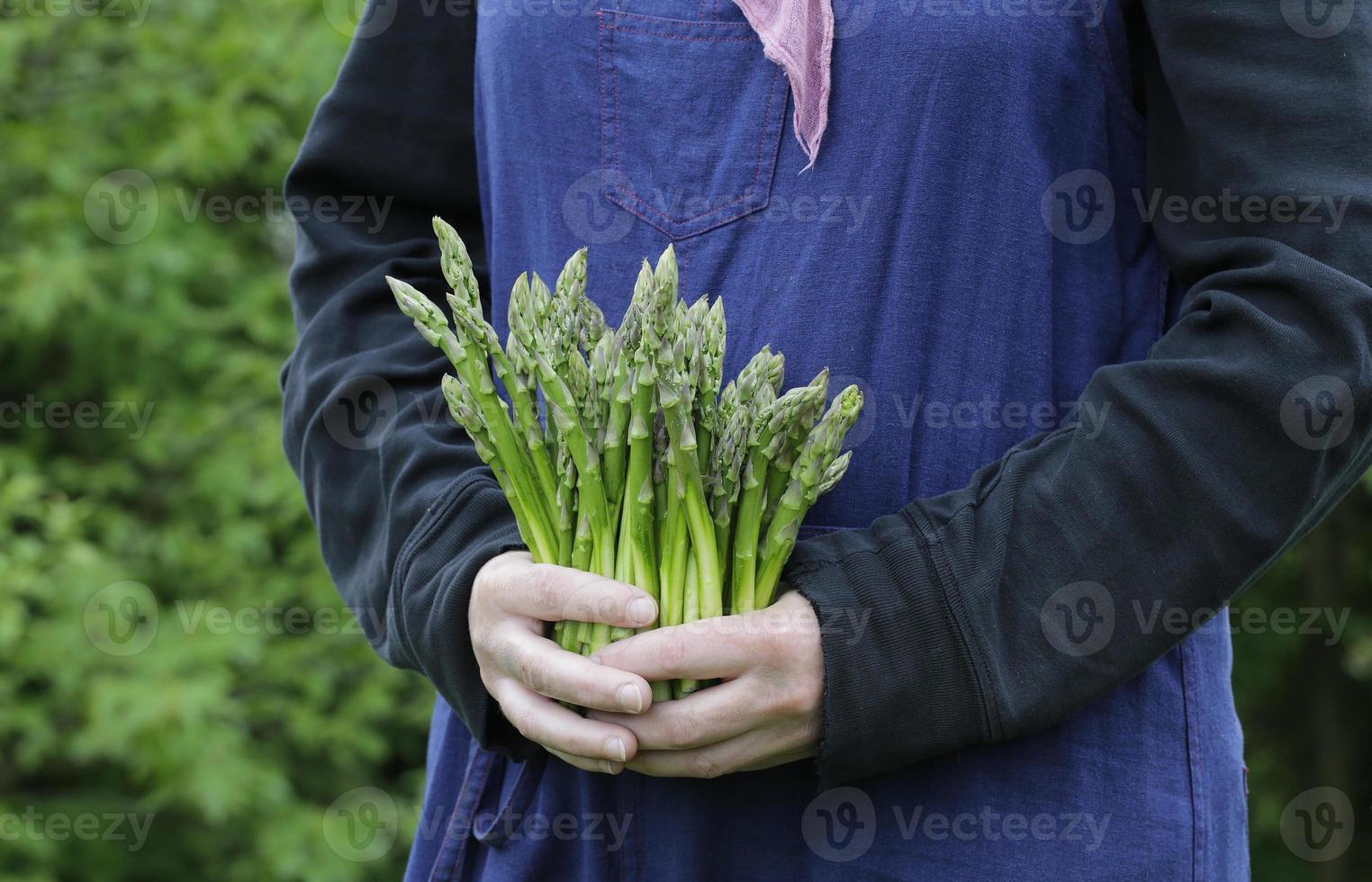 green fresh asparagus photo
