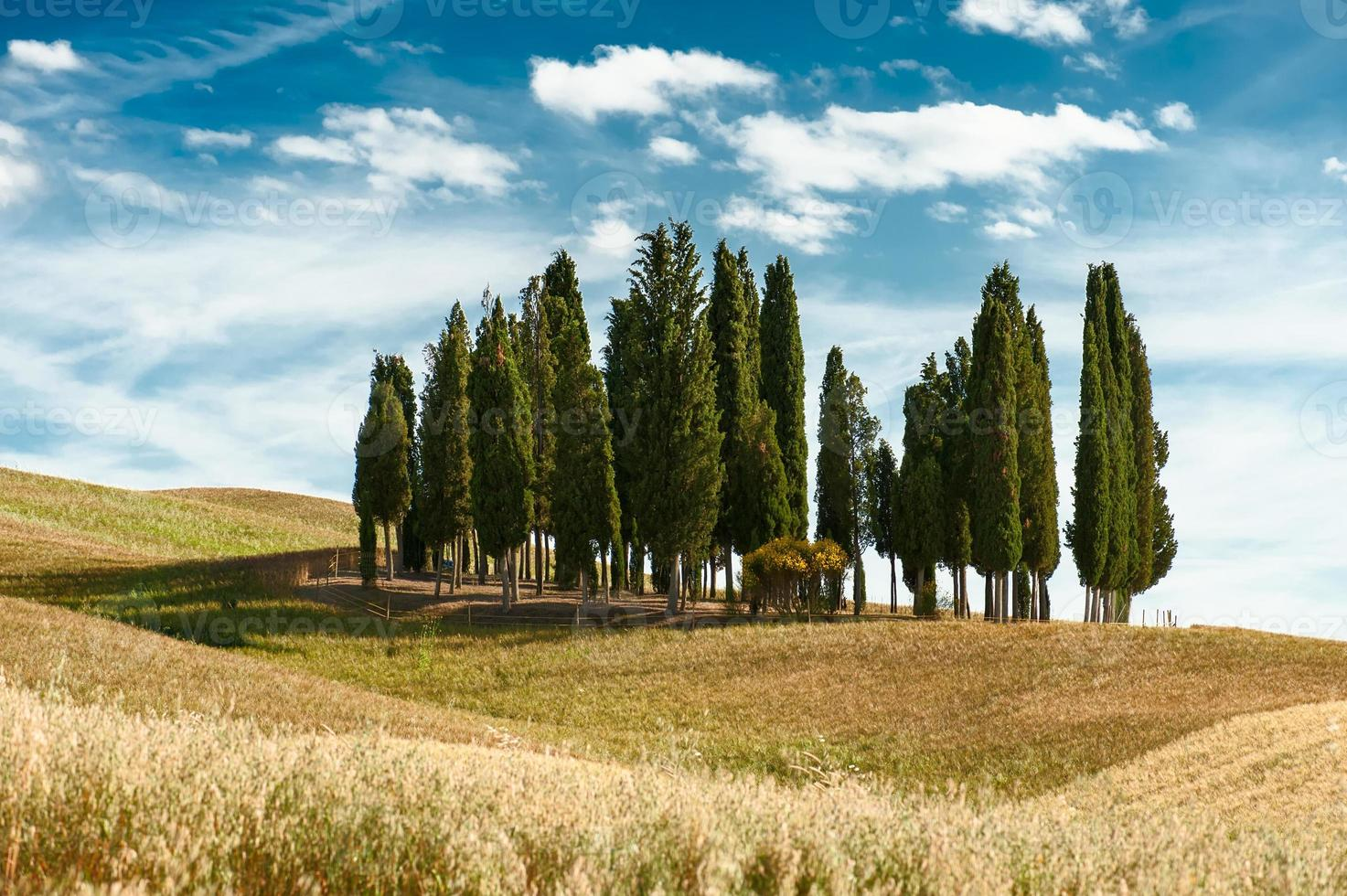 Cypress trees landscape photo