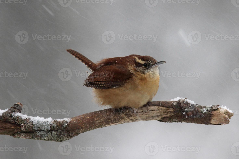 scricciolo invernale foto