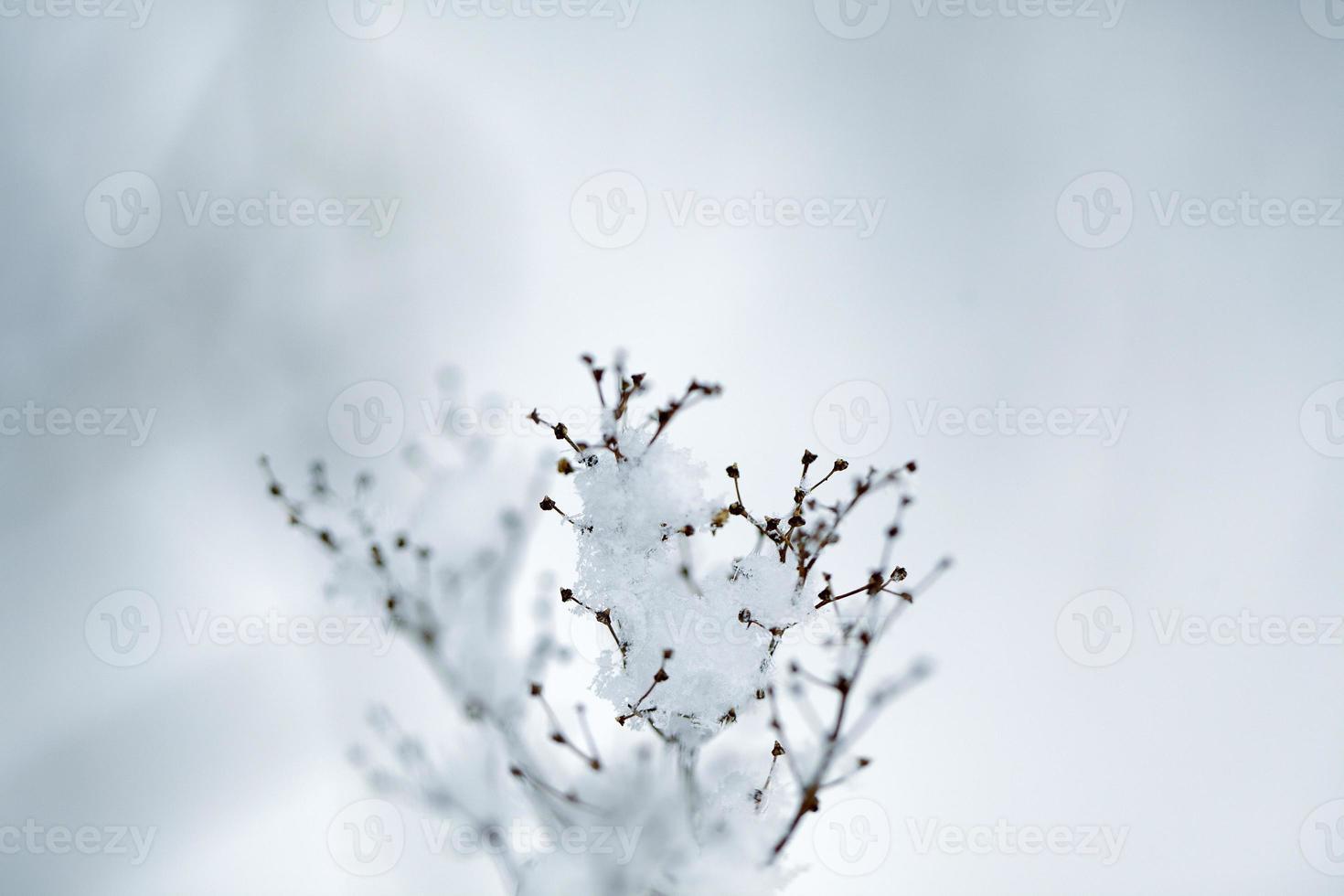 ramitas de invierno foto