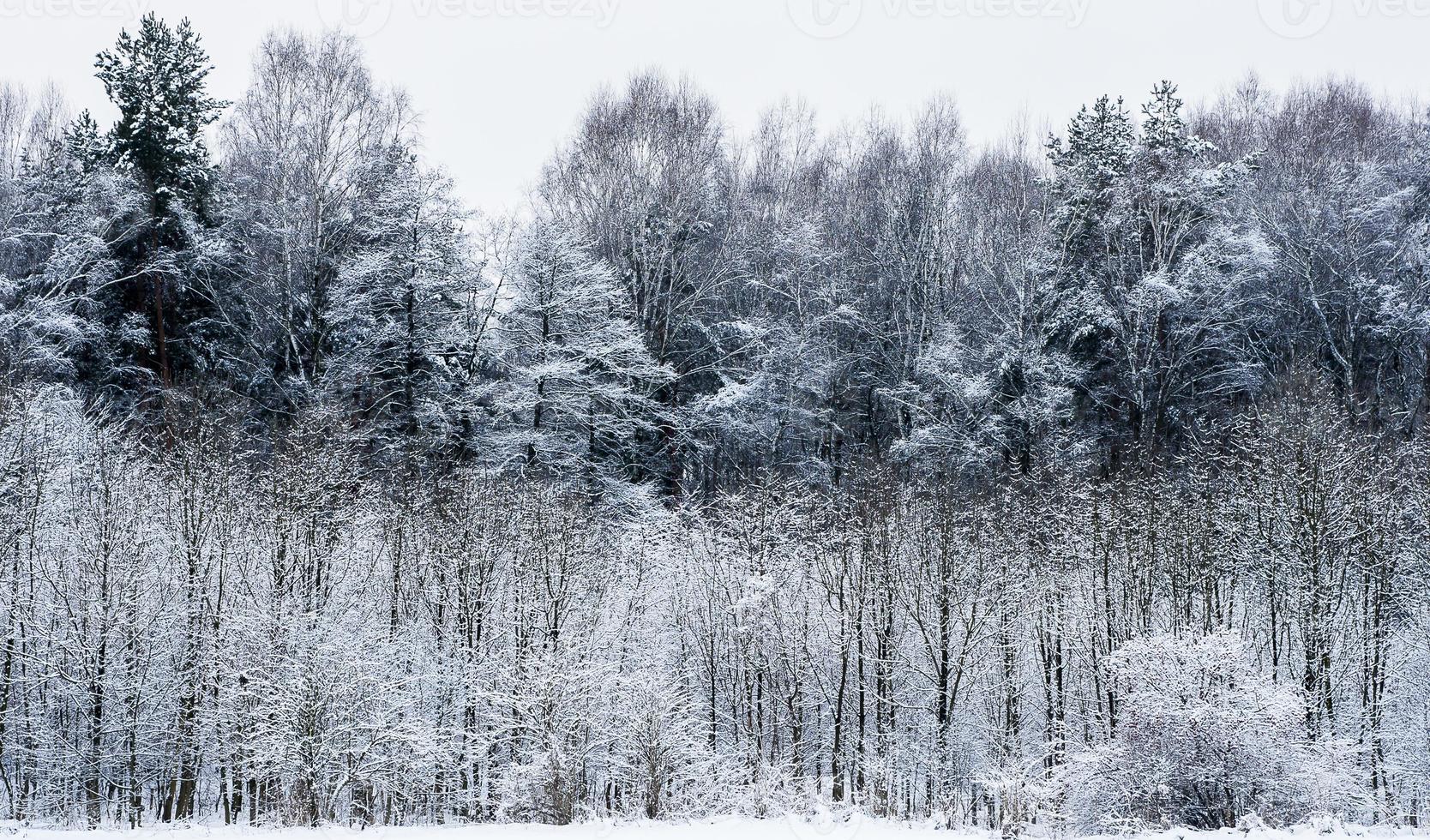 bosque en invierno foto