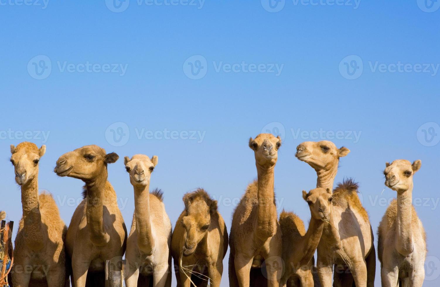 camelos em uma fileira foto