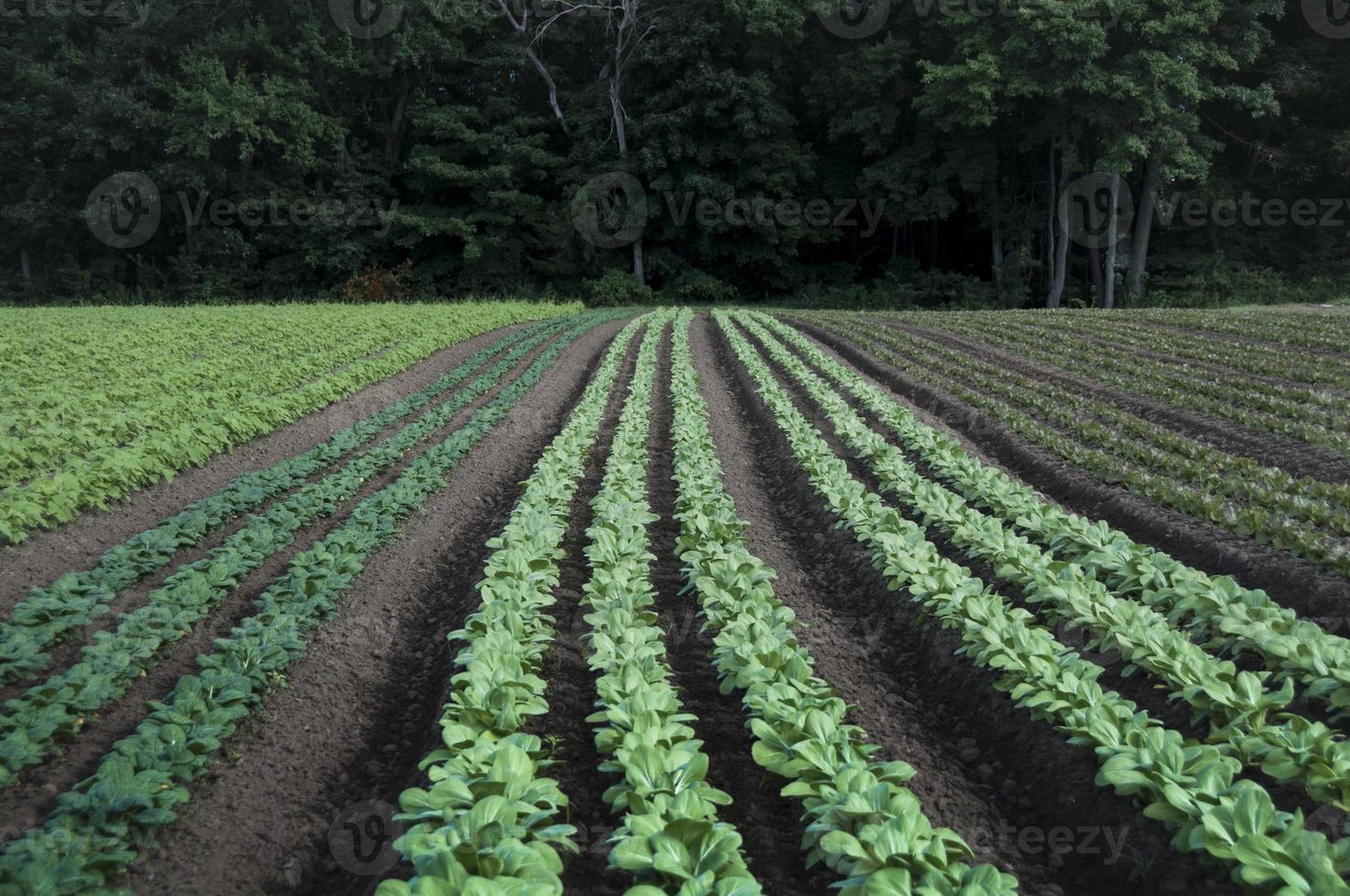 Nova Inglaterra fazenda linhas de vegetais de folhas verdes foto