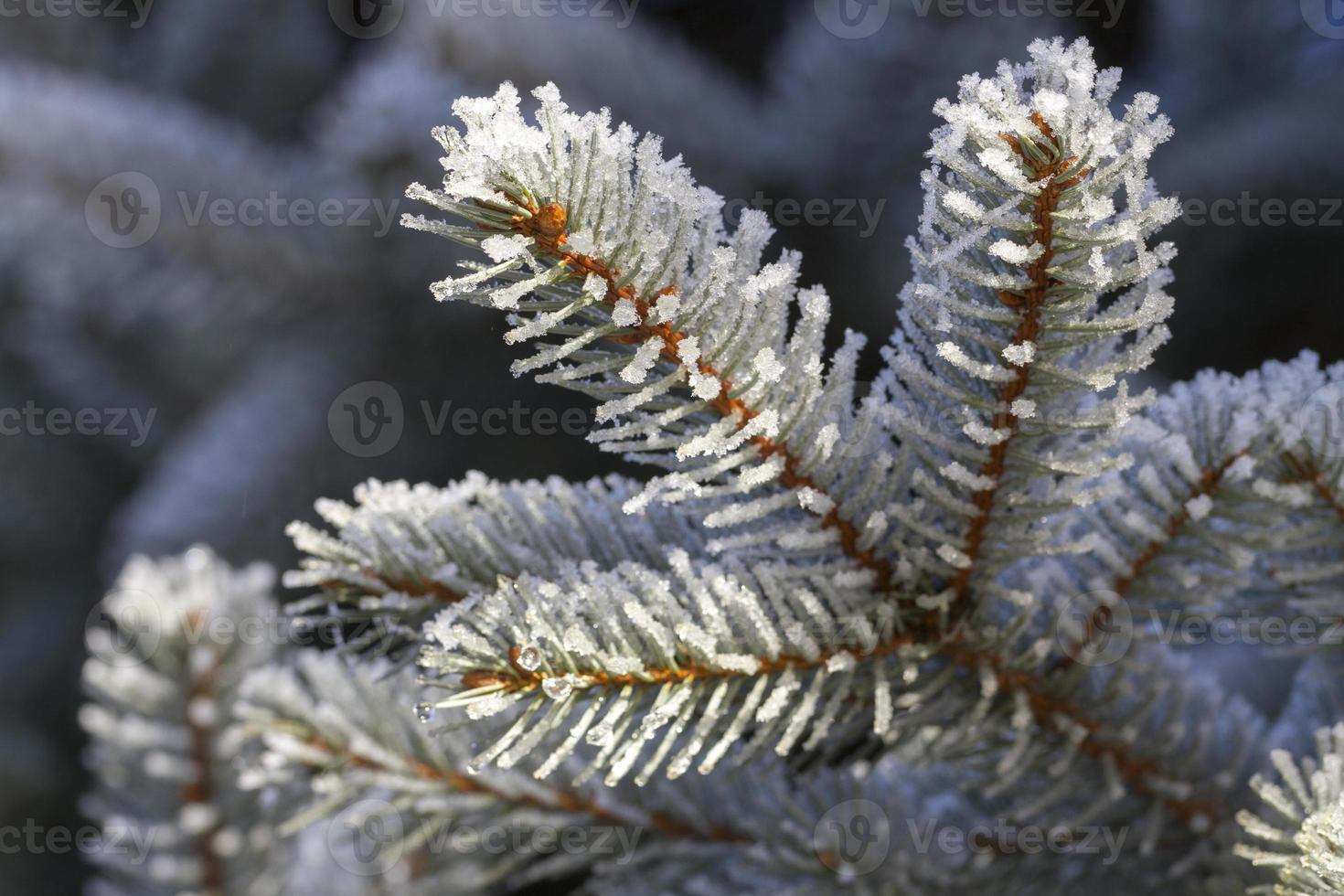 pinheiro de inverno foto