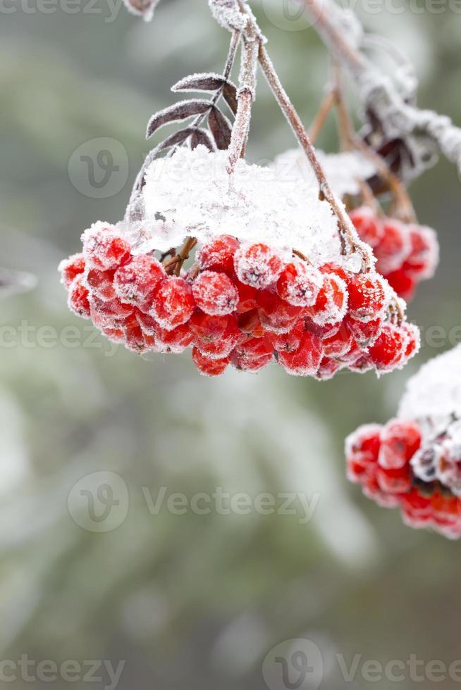 serbal. invierno. nieve. foto