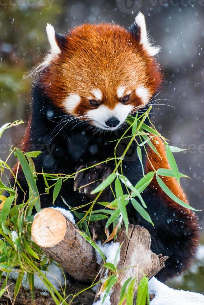 panda vermelho comendo bambu foto