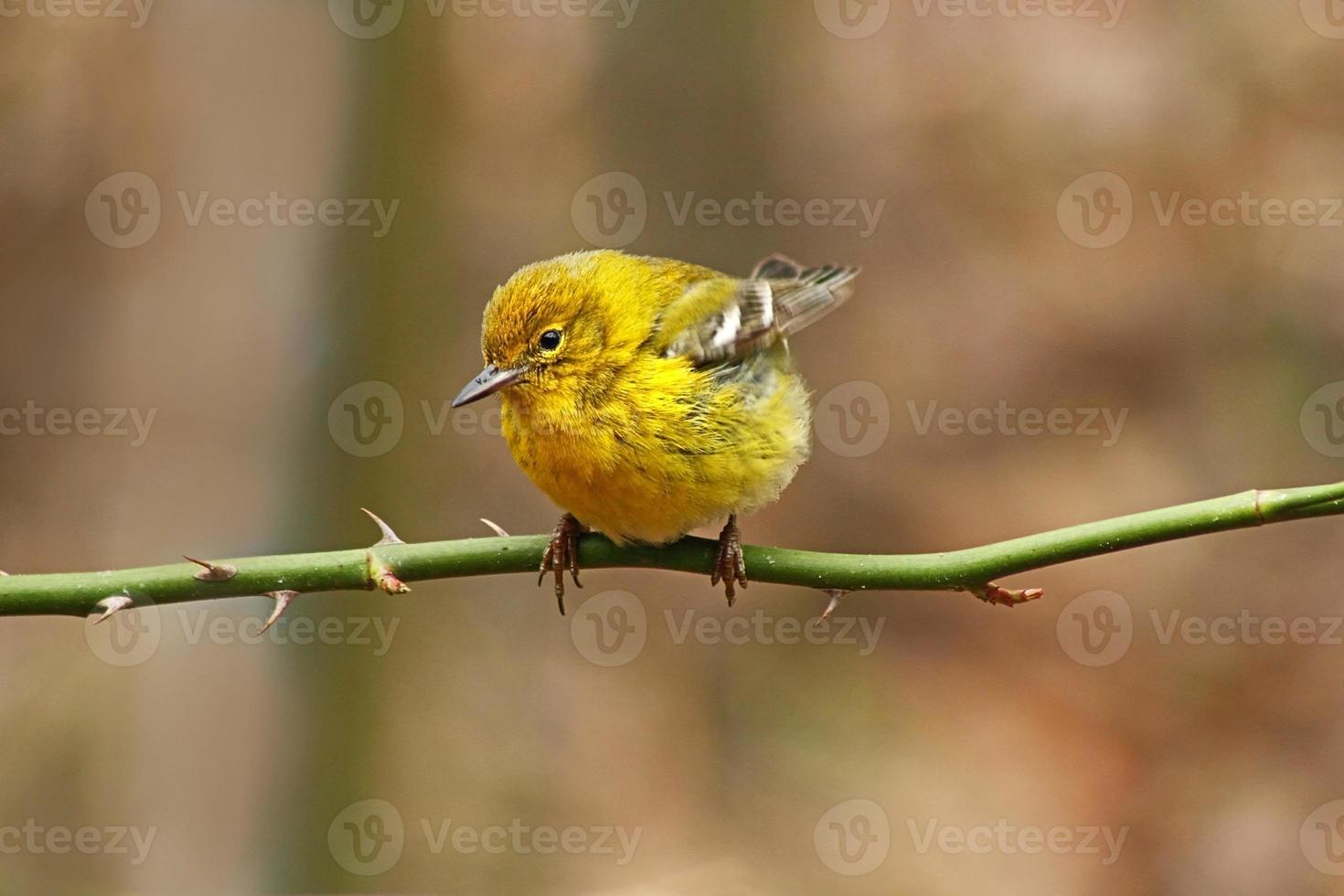 curruca amarilla en invierno foto