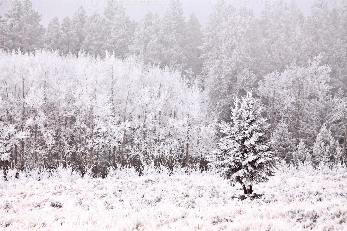 cipreses en invierno foto