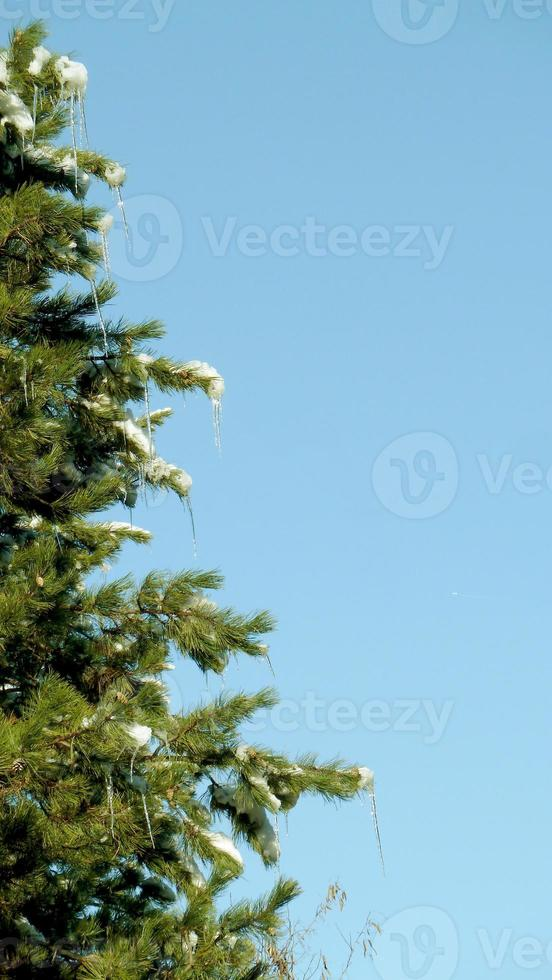 Pine tree forest in winter photo