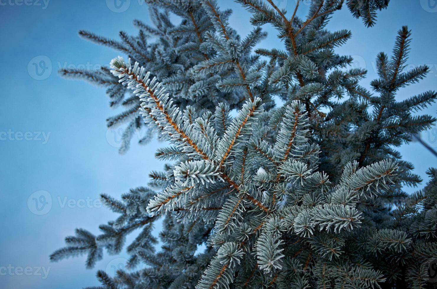 heladas de invierno en abeto foto