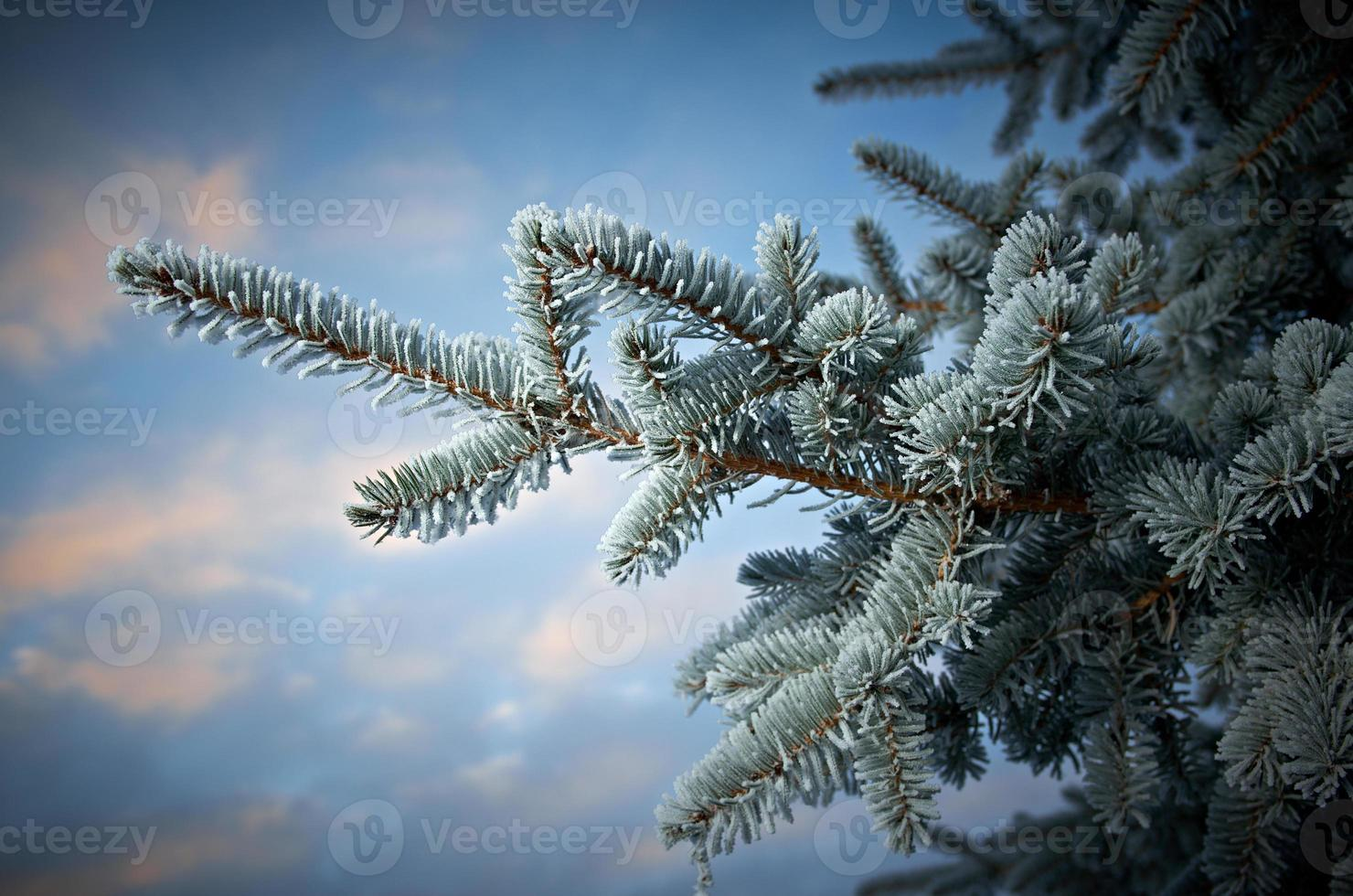 gel d'hiver sur l'épinette photo