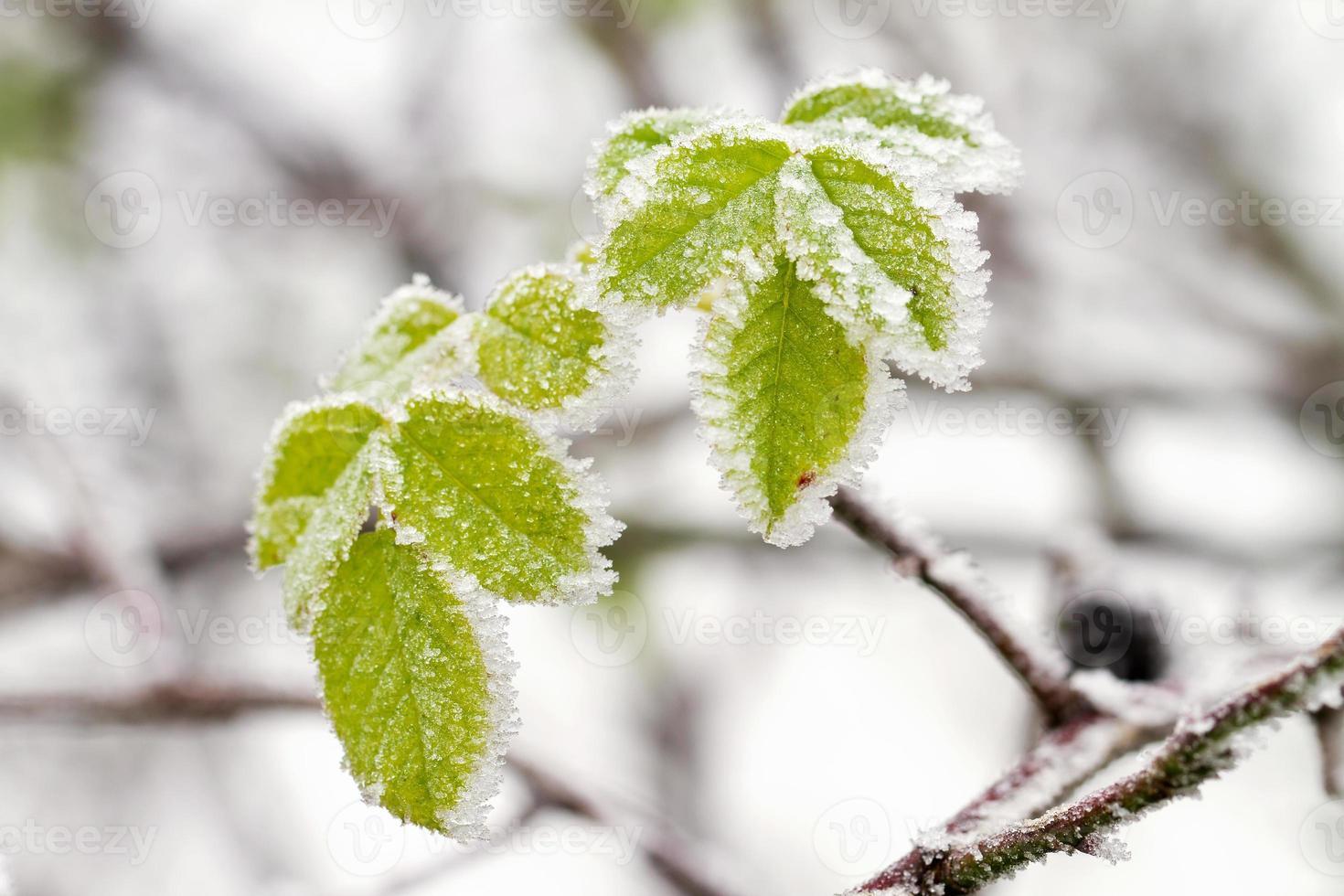 folhas de inverno gelado foto