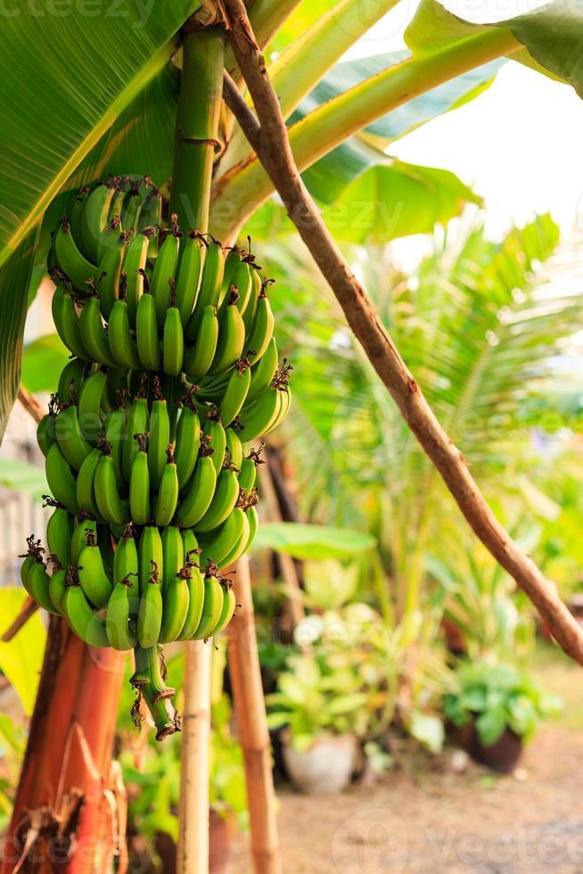 racimos de plátano foto