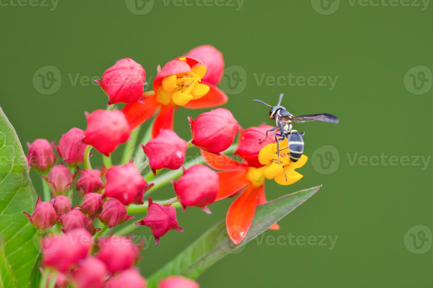 Close-up of wasp pollinating on red and yellow flowers photo