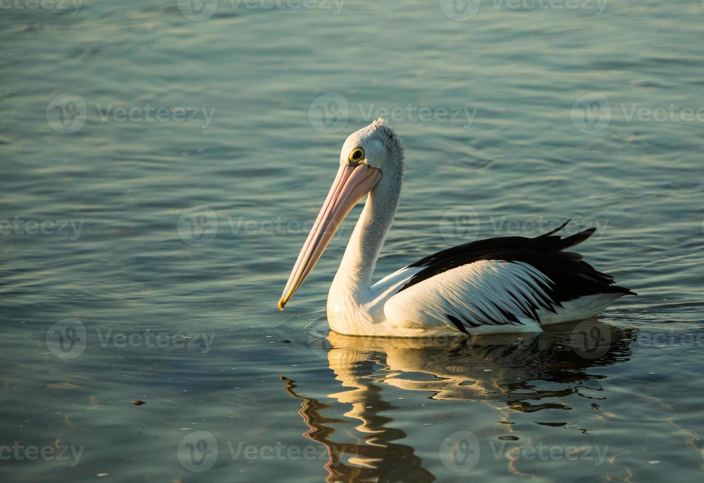 natación pelícano foto