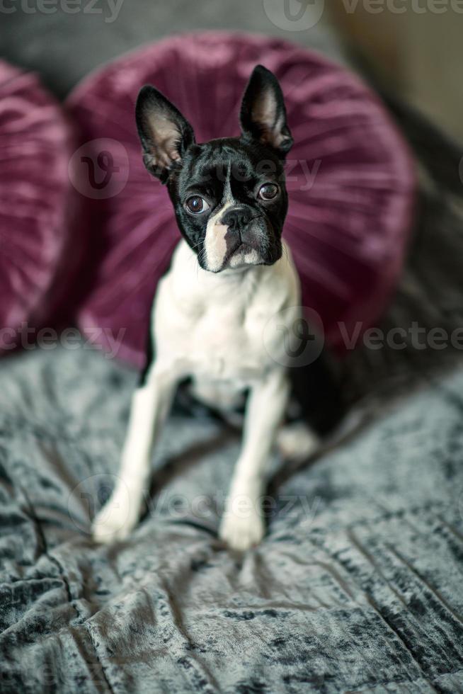 Boston terrier en la cama foto