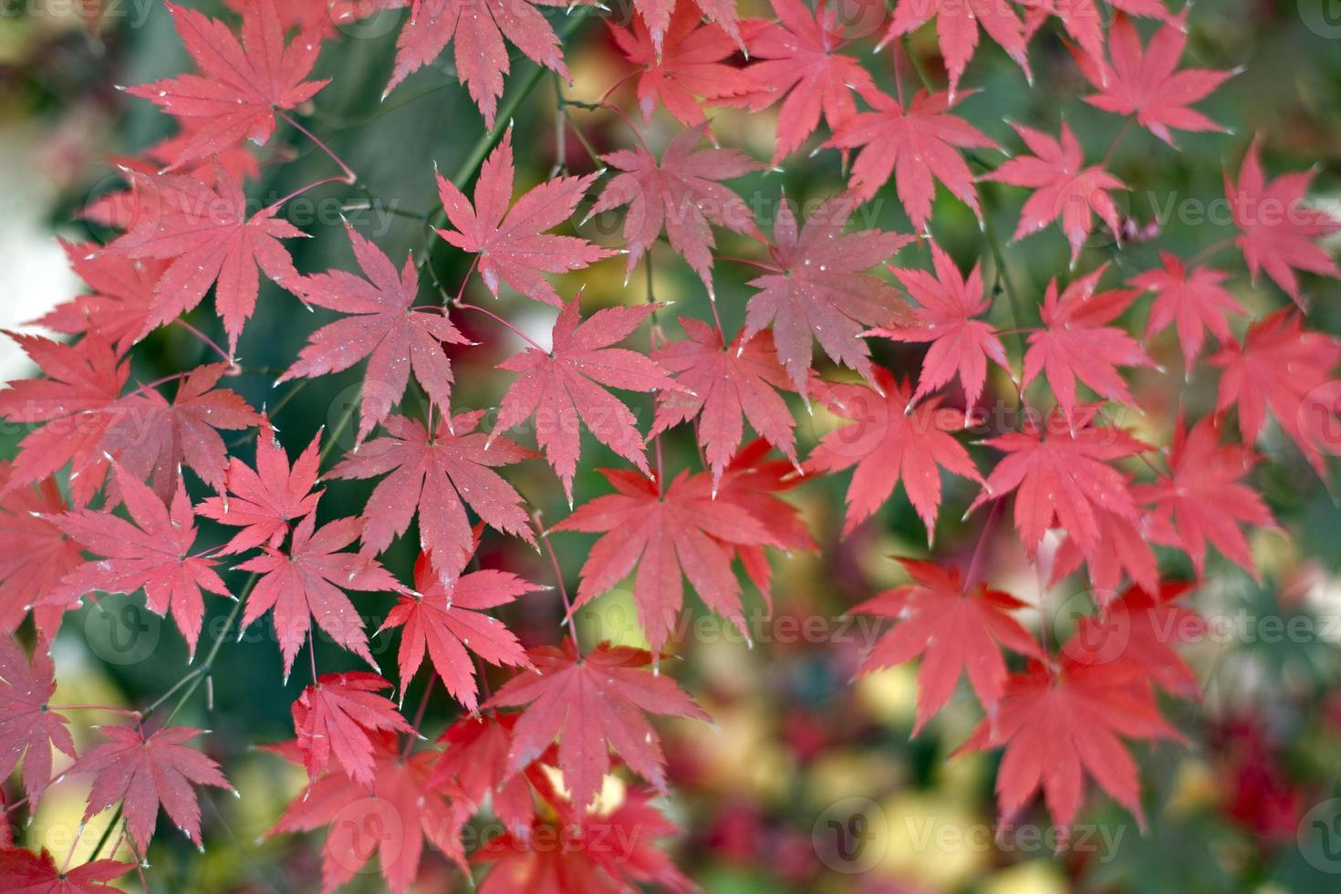 hojas de arce japonés foto