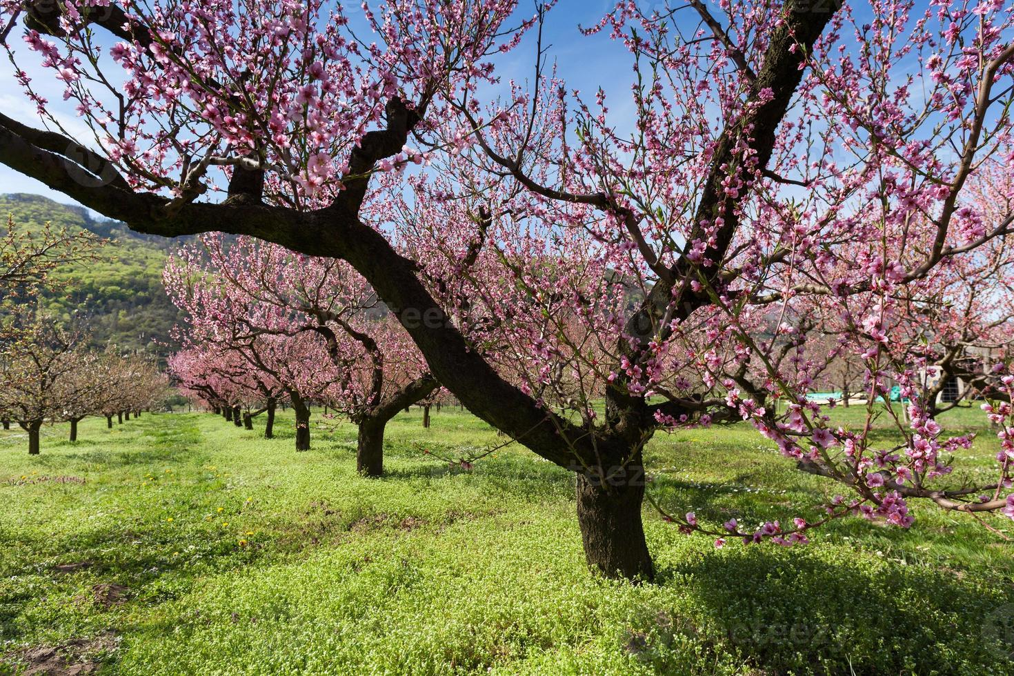 Peach blossoms photo