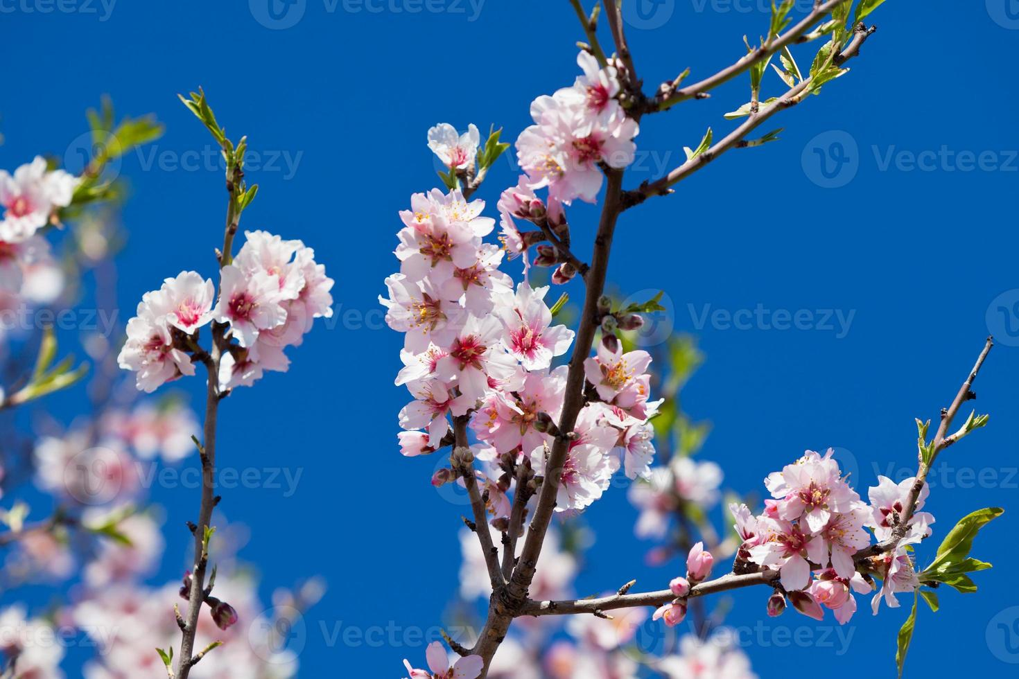 flores de color rosa flor de durazno en primavera foto
