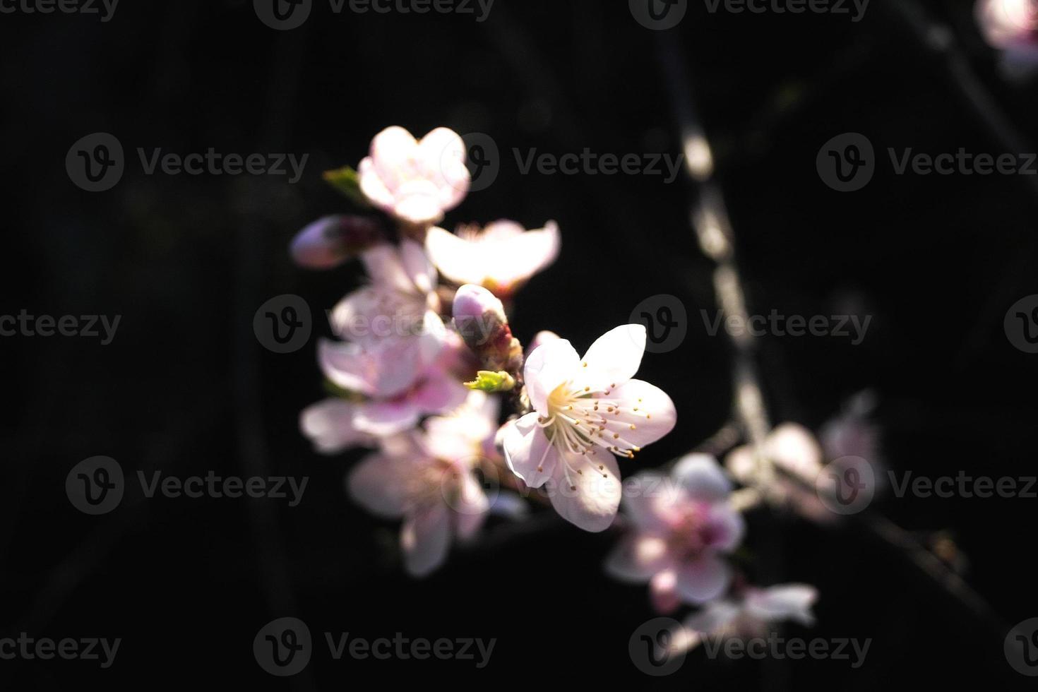 flor de nectarina foto