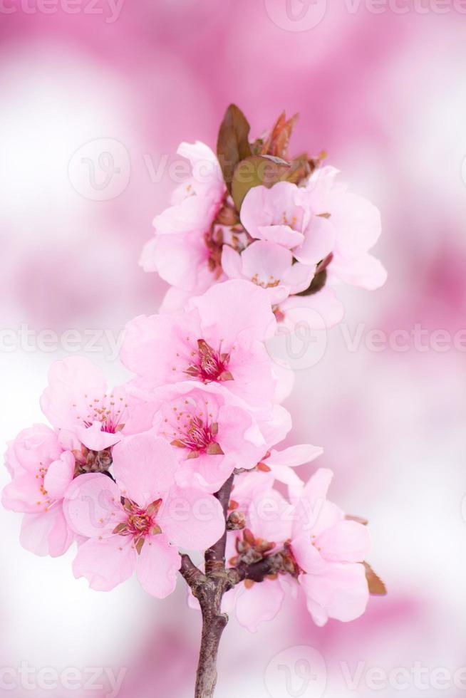 flores de durazno rosa foto
