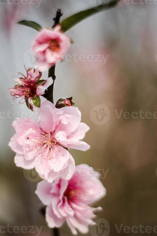 flores de durazno foto