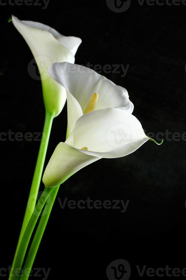 Calla lilies photo