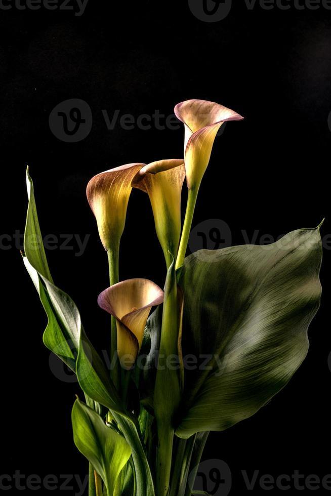 zantedeschia aethiopica, lirio de cala foto