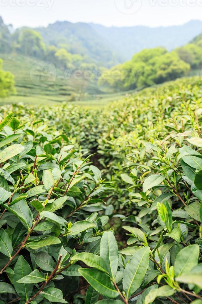plantaciones de té verde en las montañas foto
