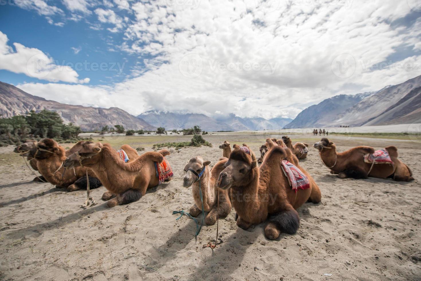 camellos en el desierto foto