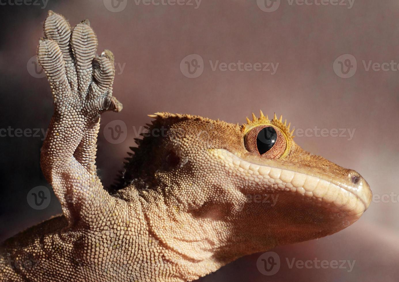 gecko con cresta caledonia en un vaso foto