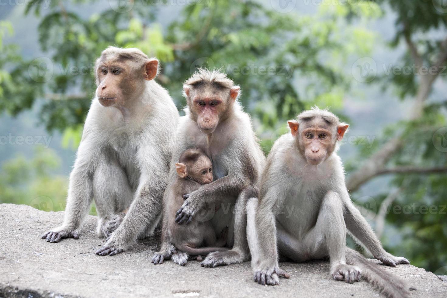 Familia de macacos rhesus sentado cerca de una carretera en la India foto