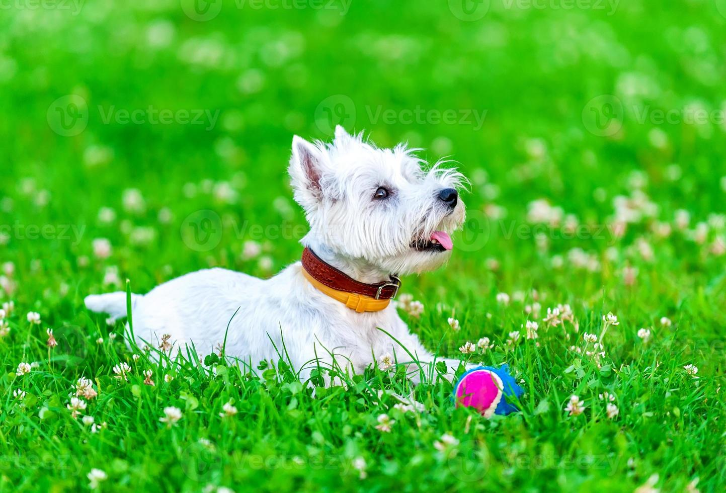 attentive West highland white terrier with ball dog toy photo